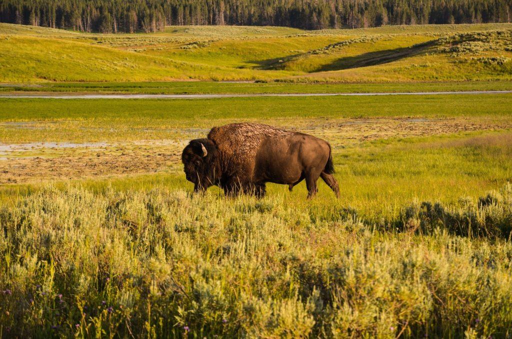 bison dans l'herbe